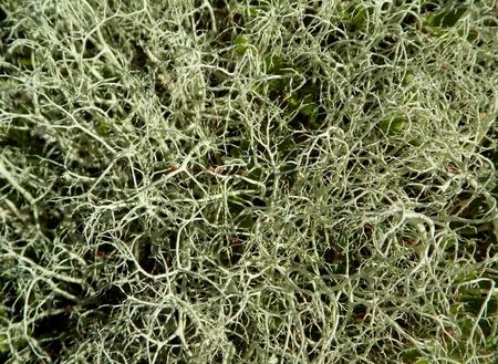 Lichen (Alectoria ochroleuca), symbiotic fungi and algae; Kola Peninsula, Russia