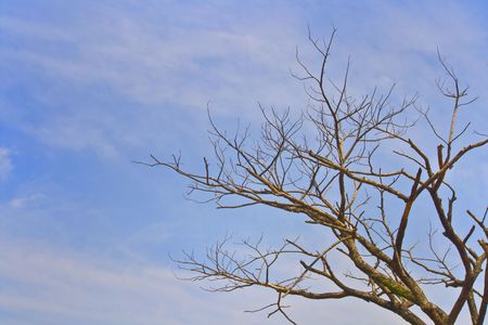 vegatation: Dead drought tree because of global warming with blue sky.
