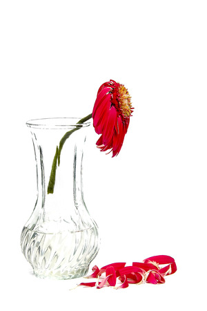 faded flower in a vase on a white background