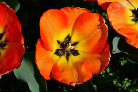 meadow of orange tulips