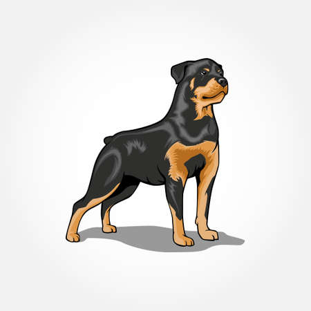 Rottweiler Dog standing vector illustration isolated with shadow.