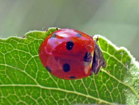 botanist: Ladybug
