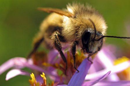 botanist: Bumblebee