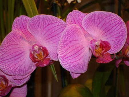 grower: Purple Orchid