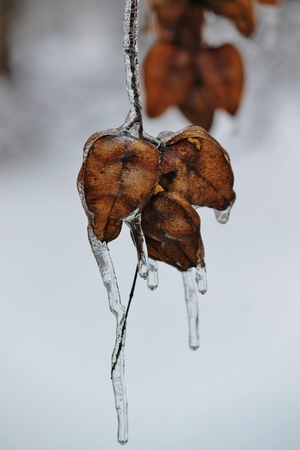 Seed Pods in Ice