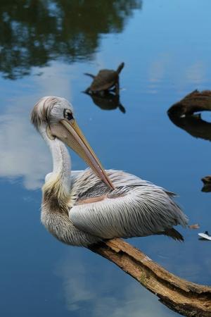 webbed feet: Pelican