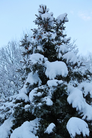 evergreen in the winter Stock Photo