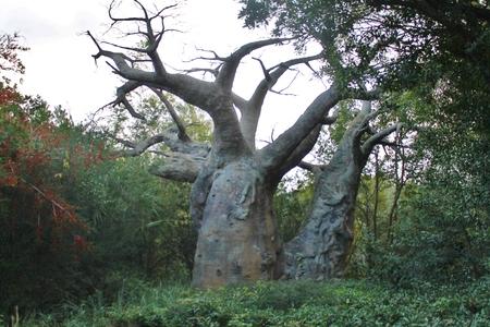 digitata: African Tree Stock Photo