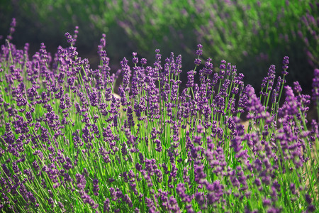 Lavender flowers growing in a field Standard-Bild