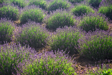 Fresh organic lavender on fields