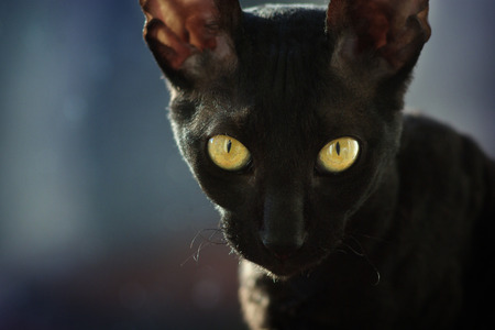 Black cornish rex cat with yellow eyes Standard-Bild