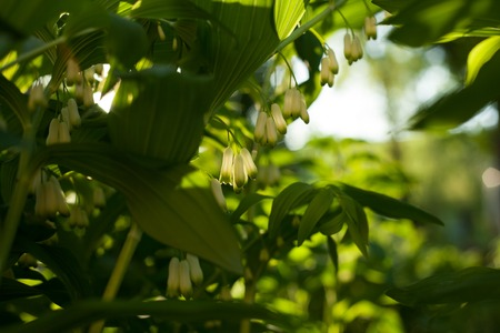 Polygonatum multiflorum background. Branch of the blossoming Solomons seal in Ukraine Stock Photo