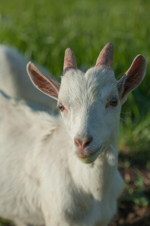 portrait of a white goatling standing on summer pasture at sunset Stock Photo