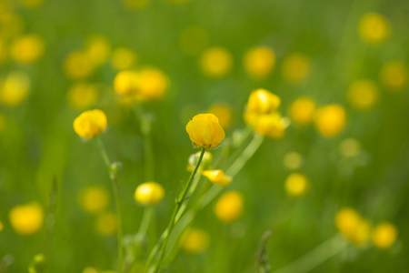 Yellow buttercup flowers in meadow amongst green grass in summer day. Bright summer background Stock Photo