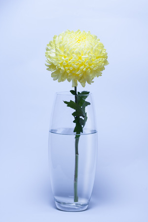 A Photo Of Yellow Chrysanthemum Flower In Glass Vase On White