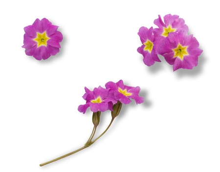 Set of pink primrose flowers isolated on white background for graphic design Stock fotó