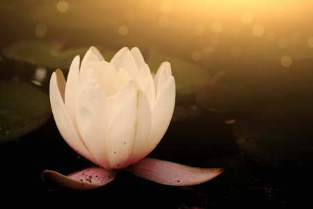 Water lily Stock Photo - 23791269