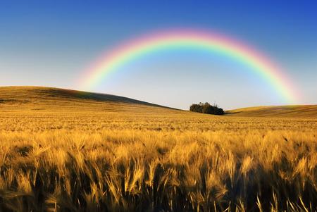 wheatfield: Rainbow wheatfield