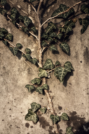 ivy wall: Ivy on the wall