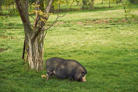 potbellied: Vietnam pig Stock Photo