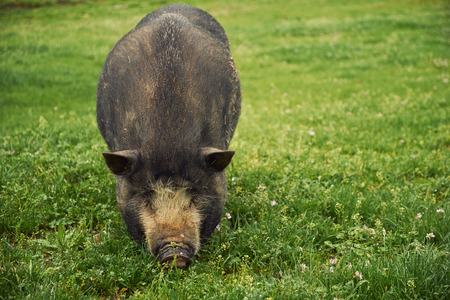 pot bellied: Vietnam pig Stock Photo