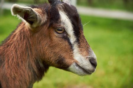 upclose: Goat