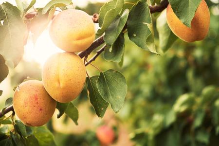 Apricot Standard-Bild