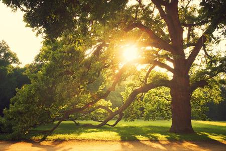 green trees: Old big tree