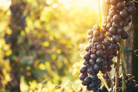 grape: Wineyard
