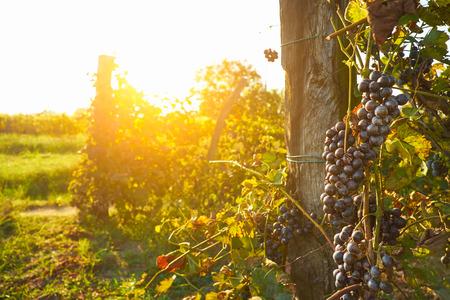 grape field: Wineyard