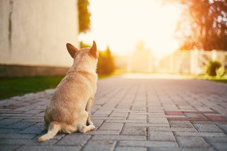 guard house: Chihuahua guard the house