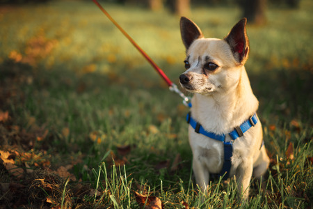 Little chihuahua in the park photo