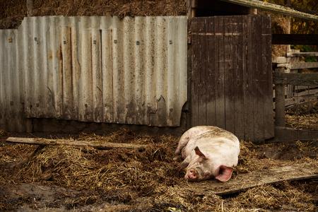 farmyard: Swine sleep on the farmyard