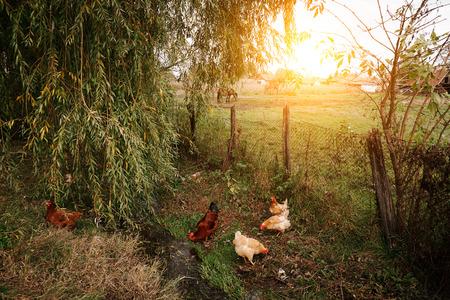 animales de granja: Pollos en granja org�nica Foto de archivo