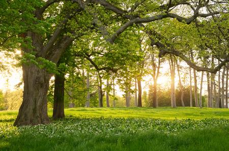 Sunlight in the green forest springtime Standard-Bild