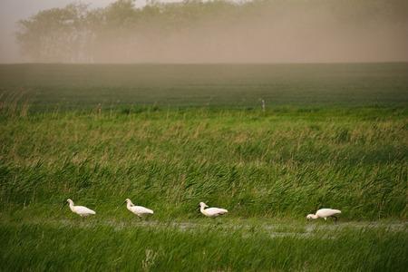 moorland: Spoonbills on the moorland Stock Photo