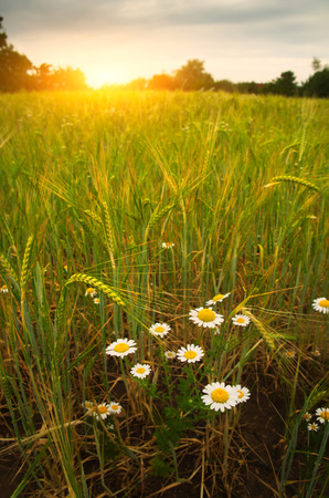 wild oats: Daisy flower on summer wheat field
