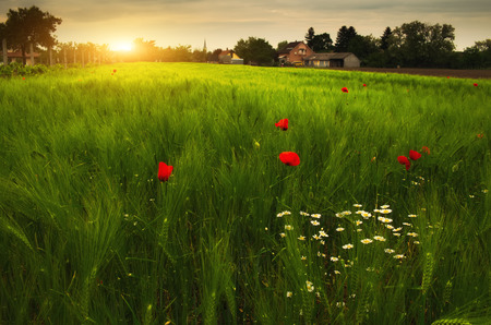 frequent: Poppies an daisy flowers on the summer wheat field sunset