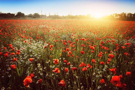 Summer poppy field