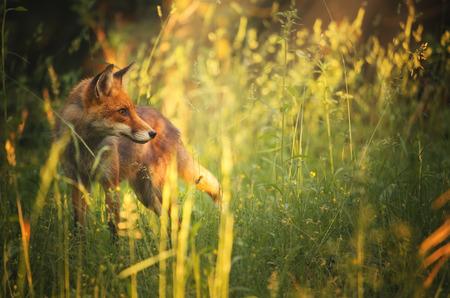 Fox on the summer forest Archivio Fotografico