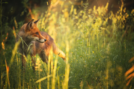 fox fur: Fox on the summer forest Stock Photo