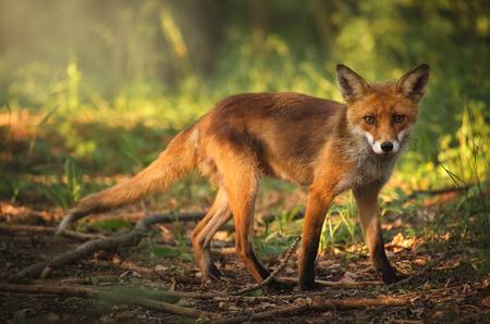zorro: Fox en el bosque de verano Foto de archivo