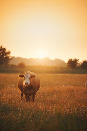 Cows on pasture Banque d'images