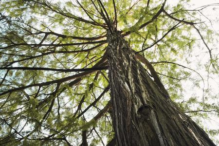 swamp: Swamp cypress