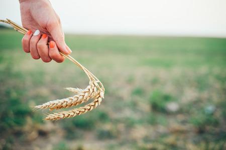 wheatfield: Woman hand on wheatfield