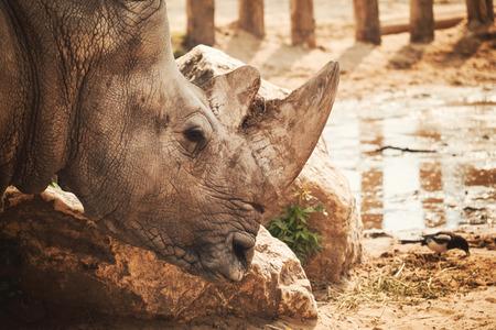 herbivore natural: Rhino portrait