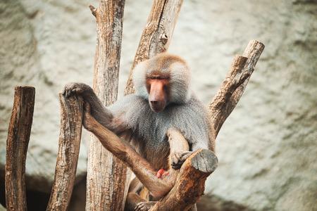 baboon: Baboon portrait Stock Photo
