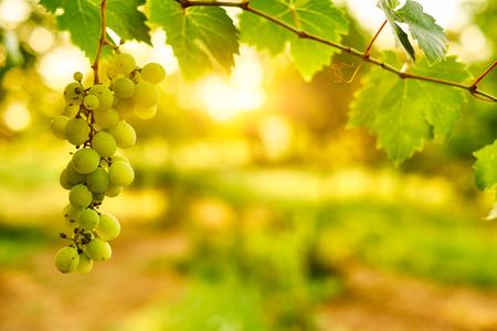 grapes: Racimos de uvas maduras blancas Foto de archivo
