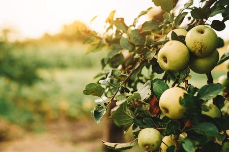 albero da frutto: Mele verdi su albero