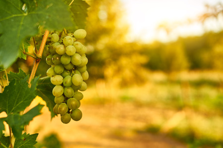 clusters: White ripe grape clusters